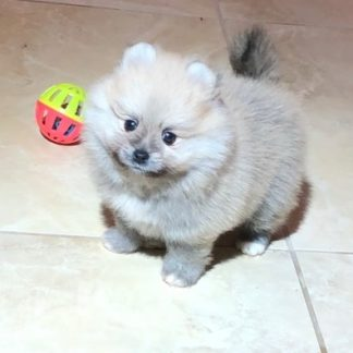Sable Female Pomeranian Puppy